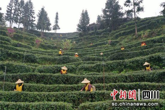 第十五届大青城三月三网络采茶节开幕_线上销售额超180万元